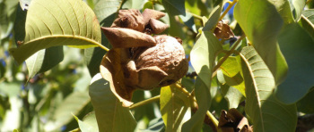 walnuts-still-on-the-tree-large