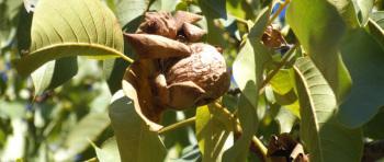 walnuts-still-on-the-tree-large